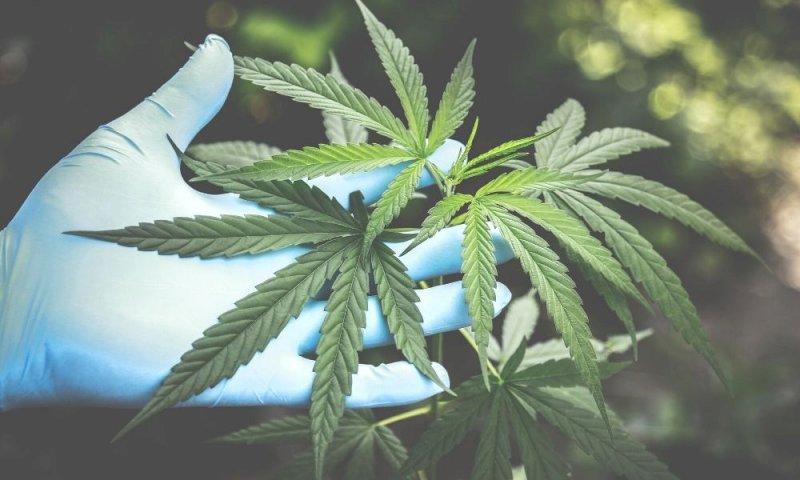 Cannabis, nonostante le 500mila firme raccolte il referendum è a rischio